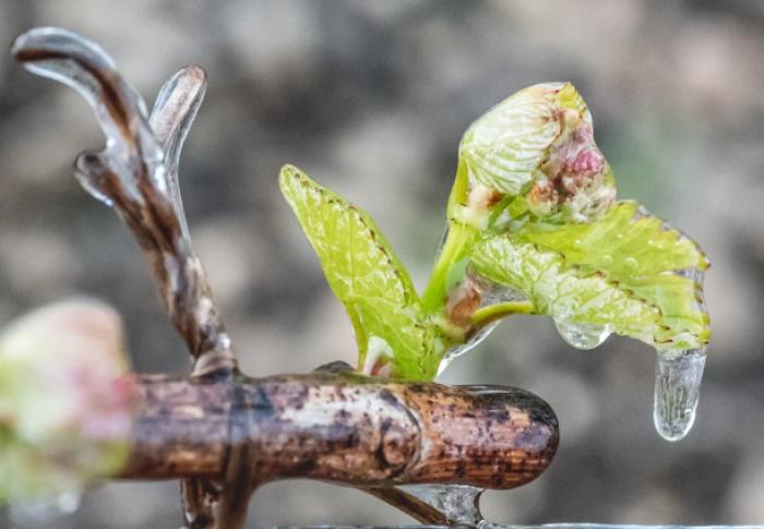 (foto) Cum luptă vinificatori din nordul Franței cu înghețurile târzii. Tehnologiile sunt folosite de aproape 60 de ani