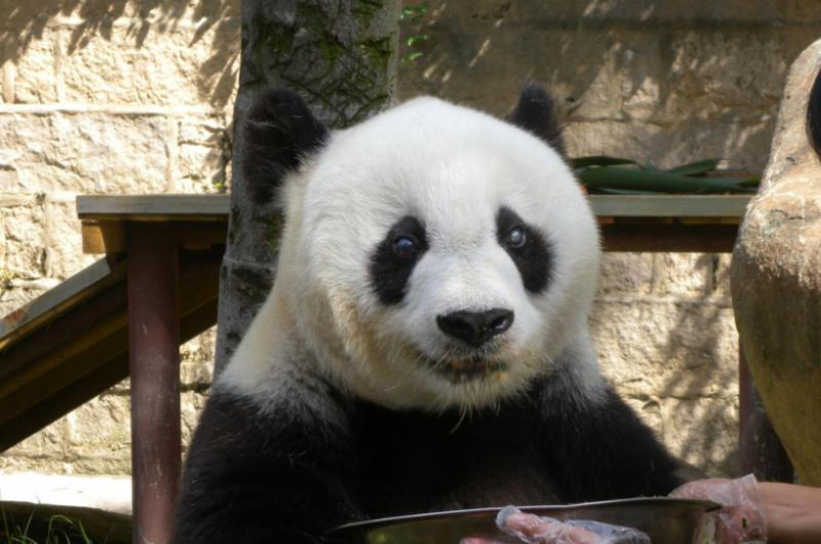 Grădina zoologică din Edinburgh suspendă programul de reproducţie a urşilor panda