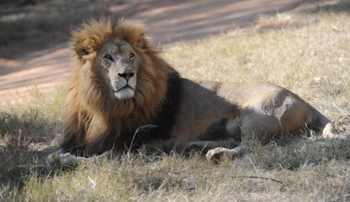 Trei lei evadați dintr-un parc național au fost uciși