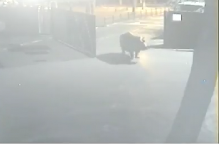 (video) Un hipopotam a evadat dintr-un zoo din Israel, dar la scurt timp a decis să se întoarcă