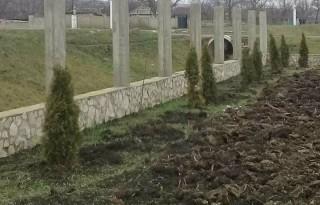 (foto) Hoți de brăduți. Unui bărbat din Ialoveni i-au fost furați noaptea zeci de copaci decorativi din curtea casei
