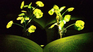 Plantele ar putea înlocui becurile în viitor. Primele experimente sunt promiţătoare