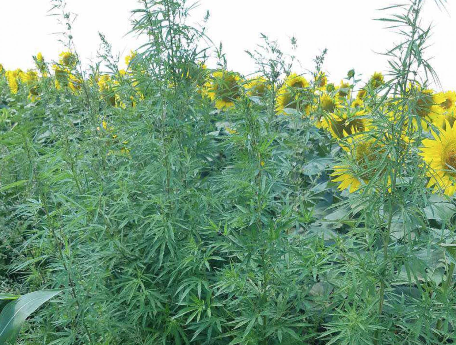 200 de plante de cânepă au fost descoperite într-un lan cu floarea-soarelui