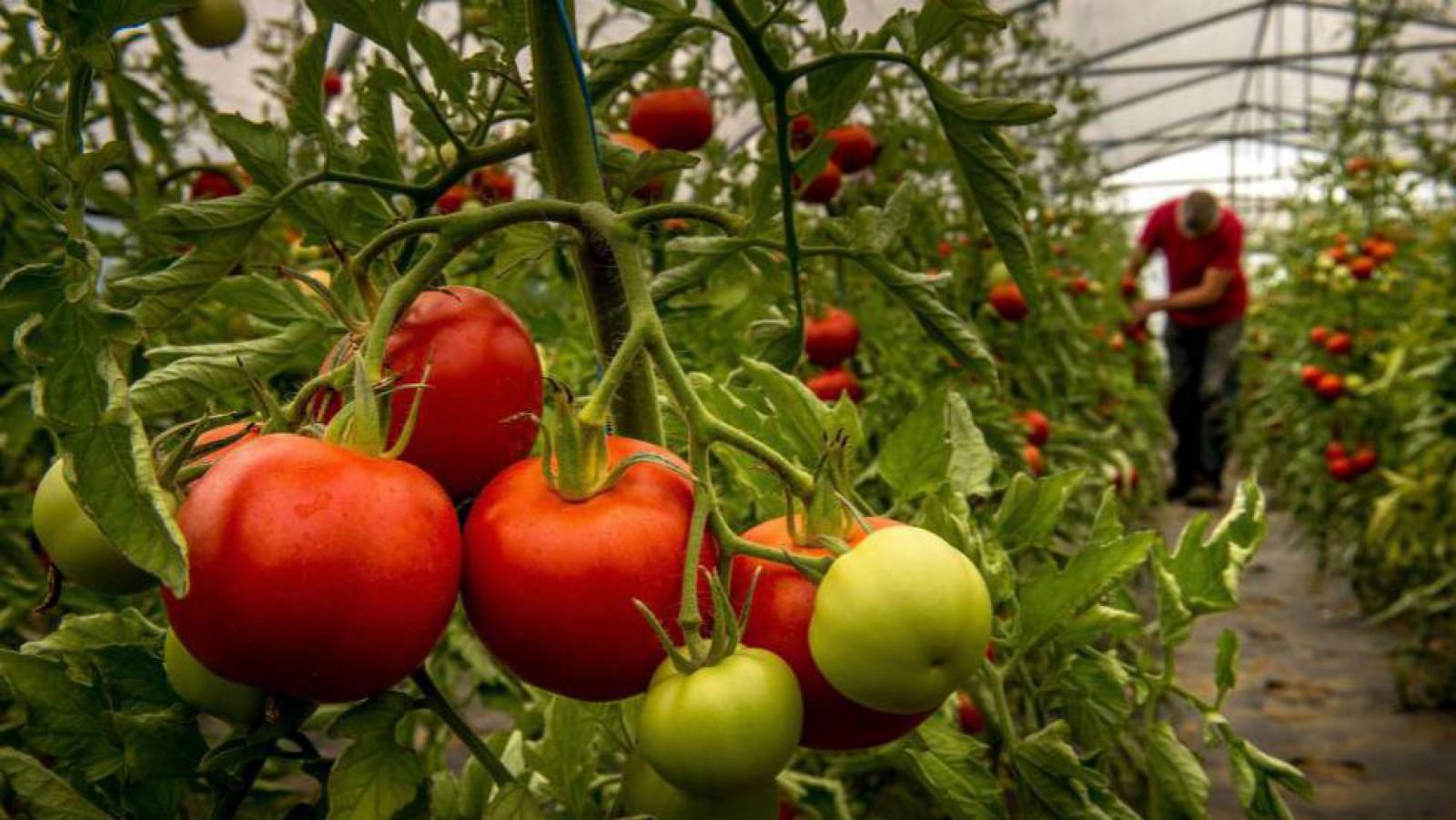 În atenția producătorilor! Două focare de dăunători de tomate au fost depistate la Ialoveni