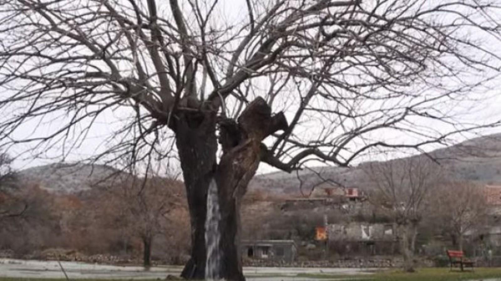 (video) Fenomen uluitor! Curge apa dintr-un copac
