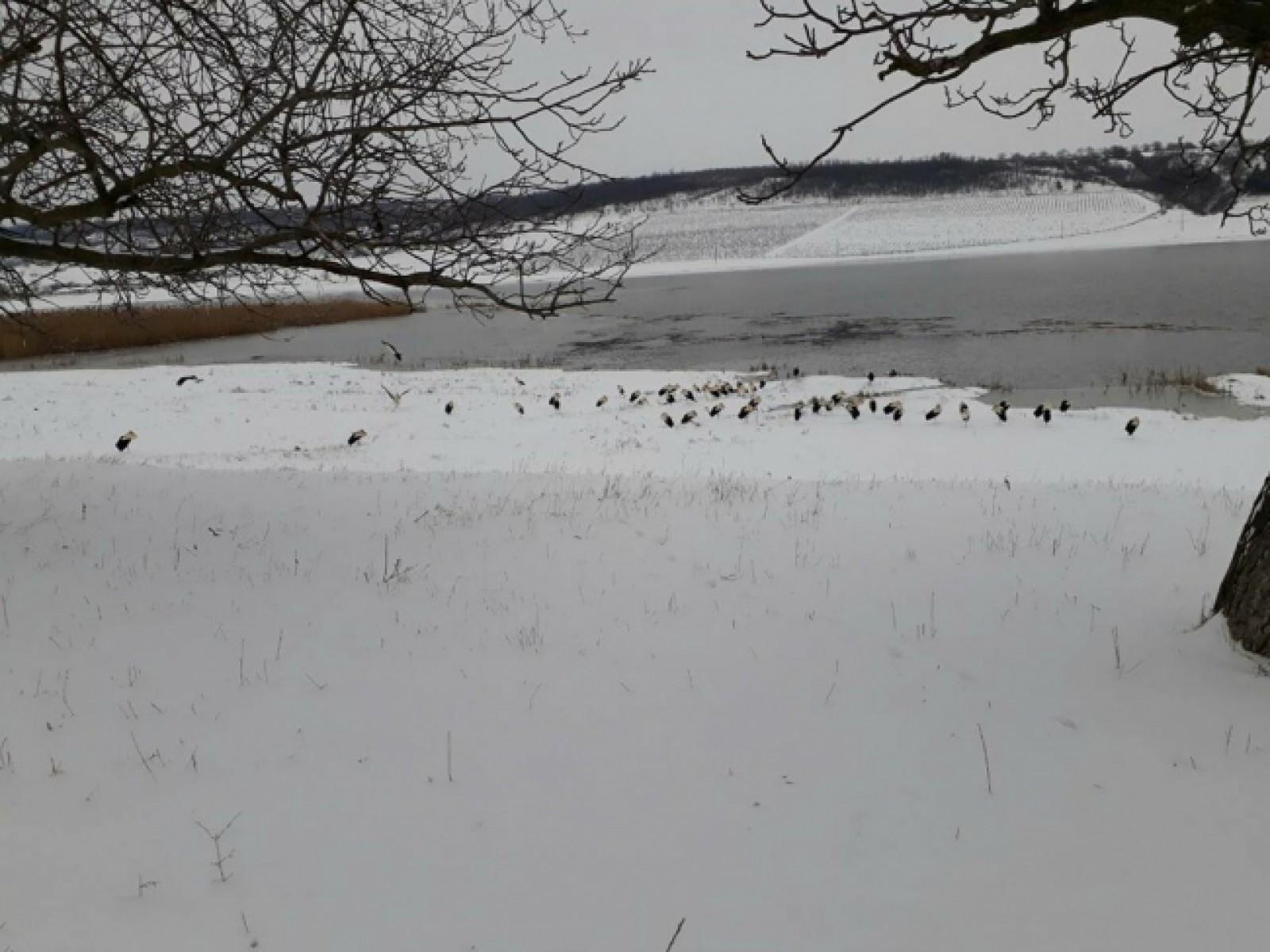 (foto) Zeci de cocostârci sunt supuși înghețului. S-au întors din țările calde, dar stau adăpostiți în zăpadă