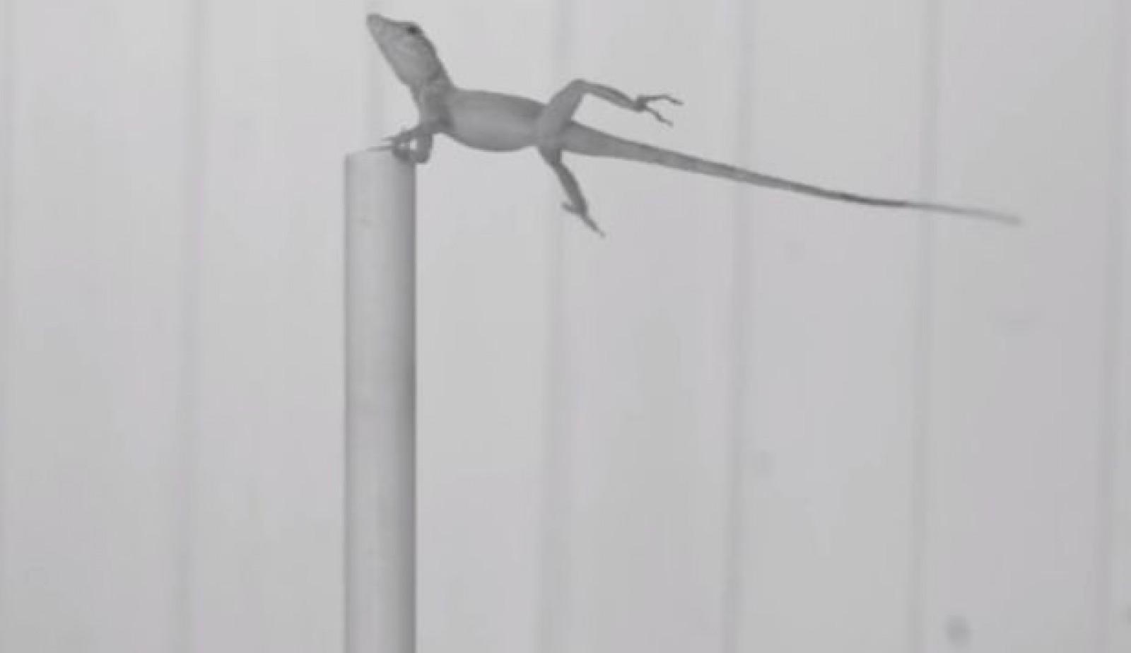 (video) O specie de reptilă a evoluat forţat pentru a supravieţui uraganelor