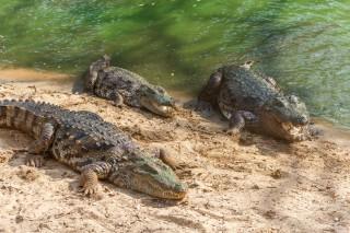 300 de crocodili, specie protejată, au fost uciși în Indonezia