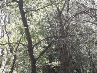 (video) Un alt șarpe de dimensiuni mari a fost surprins într-o pădure din Ungheni. E o specie inclusă în Cartea Roșie și nu e periculoasă